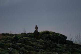 Fyglalífið í Áshildarmýri